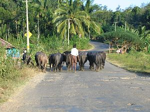 Valliyoorkkavu - Cattle in the village