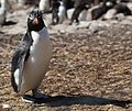 Rockhopper Penguin casts a shadow (5578201835).jpg