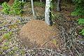 Rodlen, mraveniště pod břízou.jpg