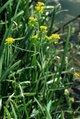 Rorippa amphibia eF.jpg