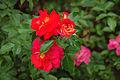 Rosa 'Brothers Grimm' ARW-Camera white balance.jpg