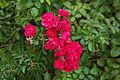 Rosa 'Flower Carpet Scarlet' 2.jpg