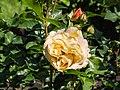 Rosa 'Lampion' (d.j.b) 01.jpg