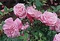 Rosa 'Old Blush'.jpg
