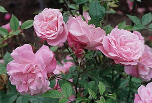 The Last Rose of Summer - Rosa 'Old Blush'