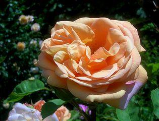 Rosa Charles Austin.jpg