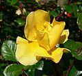 Rosa Poulsens Yellow 2.jpg