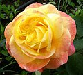 Rosa Rose (237940853).jpg
