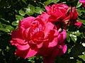 Rosarium Baden Rosa 'Benita' Schmadlak 2000 02.jpg