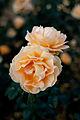 Rose, Manyo - Flickr - nekonomania (15).jpg