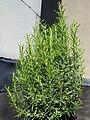 Rosemary001.jpg