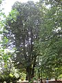 Rosengarten Forst, markante Silber-Linde westlich des Jubiläumsgartens, Sommer, 02.jpg