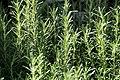 Rosmarinus officinalis Arp 1zz.jpg