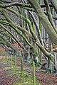 Row of Beech trees in Winter at Berwick Down - geograph.org.uk - 336288.jpg