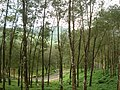 Rubber trees,kerala - panoramio.jpg