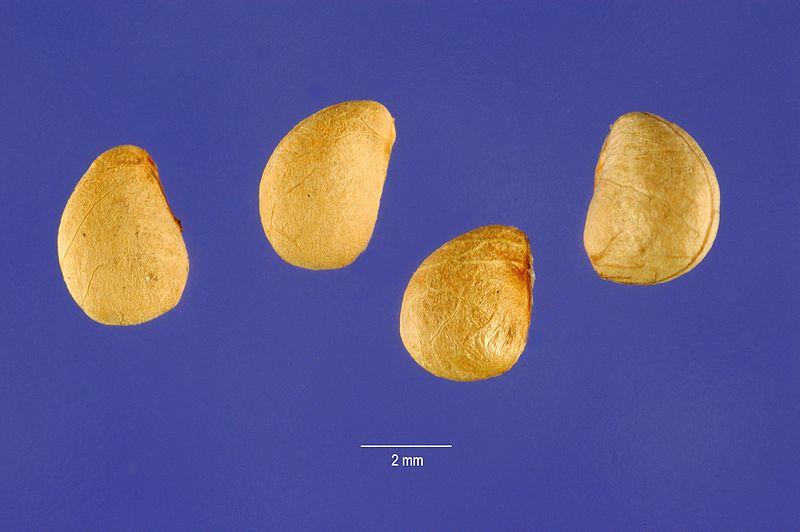 File:Rubus chamaemorus L. - cloudberry 01.jpg