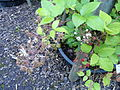 Rubus pallidus - Botanischer Garten, Frankfurt am Main - DSC02499.JPG