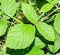 Rubus scaber in Aveyron (2).jpg