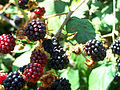 Rubus ulmifolius Fruits 23August2009 SierraMadrona.jpg