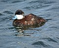Ruddy Duck- Bolsa Chica Wetlands (4412802552).jpg