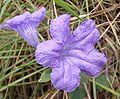 Ruellia geminiflora.jpg