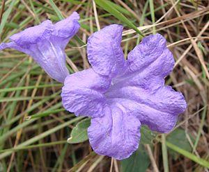 Ruellia geminiflora - Image: Ruellia geminiflora