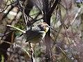 Rufous-capped Warbler (33856626682).jpg