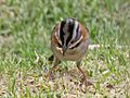 Rufous collared Sparrow RWD4.jpg