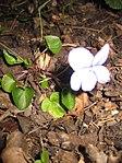 Ruhland, Grenzstr. 3, Hain-Veilchen im Garten, blühende Pflanze, Frühling, 06.jpg
