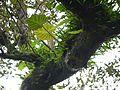 Rukhalu (Marathi- रुखाळूं) (5926472938).jpg