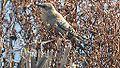Rusty Blackbird (8149325013).jpg