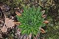 Rwenzori Giant groundsel.jpg