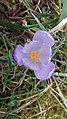 Saffron - Crocus vernus 01.jpg