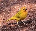 Saffron Finch 2 (3311732093).jpg
