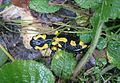 Salamandra salamandra (Salamandridae) (Fire Salamander), Ornes, France.jpg