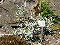 Salix helvetica2.JPG