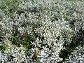 Salix lapponum L.jpg