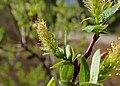 Salix myrtilloides kz12.jpg
