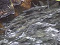 Salmon swimming upstream in Ketchikan Creek 3.jpg
