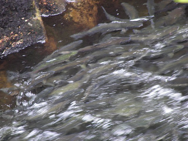 How does Residential Rainwater Collection Affect Streams & Salmon Habitat?