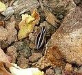 Salticidae Phlegra bresnieri (32396418531).jpg
