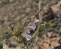 Salvia palaestina 2.jpg