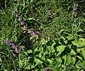 Salvia verticillata 3.jpg
