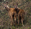 Sambar deer by N. A. Naseer.jpg