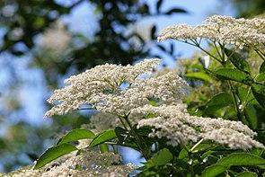 Schwarzer Holunder (Sambucus nigra), Blütenstände.