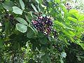 Sambucus nigra fruit 2.JPG