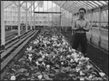 San Leandro, California. Greenhouse on nursery operated, before evacuation, by horticultural expert . . . - NARA - 536025.tif