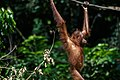 Sandakan Sabah Sepilok-Orangutan-Rehabilitation-Centre-18.jpg