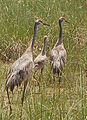 Sandhill Cranewith Young, NPSPhotos (9101514871).jpg
