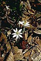 Sanguinaria canadensis 11zz.jpg